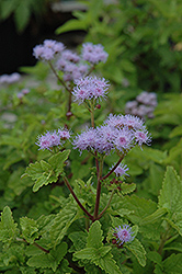 Blue Mistflower (Conoclinium coelestinum) at Woldhuis Farms Sunrise Greenhouses
