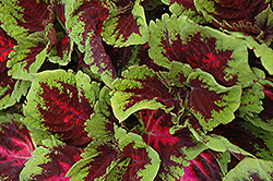 Kong Red Coleus (Solenostemon scutellarioides 'Kong Red') at Woldhuis Farms Sunrise Greenhouses