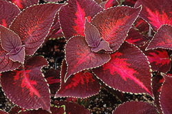 ColorBlaze® Kingswood Torch Coleus (Solenostemon scutellarioides 'Kingswood Torch') at Woldhuis Farms Sunrise Greenhouses
