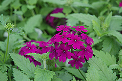 Superbena® Purple Verbena (Verbena 'Superbena Purple') at Woldhuis Farms Sunrise Greenhouses