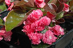 Doublet Rose Begonia (Begonia 'Doublet Rose') at Woldhuis Farms Sunrise Greenhouses