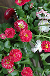 Bellisima Red English Daisy (Bellis perennis 'Bellissima Red') at Woldhuis Farms Sunrise Greenhouses