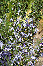 Rosemary (Rosmarinus officinalis) at Woldhuis Farms Sunrise Greenhouses