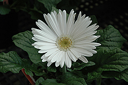 White Gerbera Daisy (Gerbera 'White') at Woldhuis Farms Sunrise Greenhouses