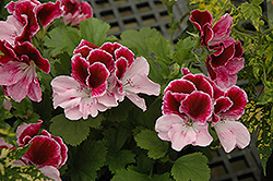 Elegance™ Purple Majesty Geranium (Pelargonium 'Elegance Purple Majesty') at Woldhuis Farms Sunrise Greenhouses