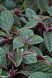 Nico Swedish Ivy (Plectranthus 'Nico') at Woldhuis Farms Sunrise Greenhouses