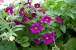 Superbells® Blue Calibrachoa (Calibrachoa 'Superbells Blue') at Woldhuis Farms Sunrise Greenhouses
