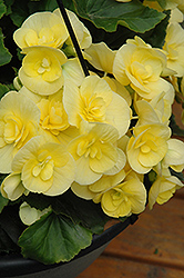 Blitz Begonia (Begonia 'Blitz') at Woldhuis Farms Sunrise Greenhouses