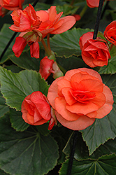 Solenia® Orange Begonia (Begonia 'Solenia Orange') at Woldhuis Farms Sunrise Greenhouses