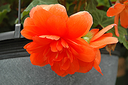 Nonstop® Orange Begonia (Begonia 'Nonstop Orange') at Woldhuis Farms Sunrise Greenhouses