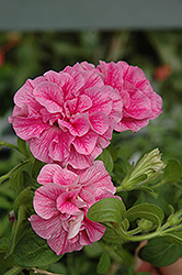 Double Wave Pink Petunia (Petunia 'Double Wave Pink') at Woldhuis Farms Sunrise Greenhouses