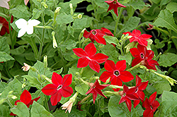 Saratoga Mix Flowering Tobacco (Nicotiana 'Saratoga Mix') at Woldhuis Farms Sunrise Greenhouses