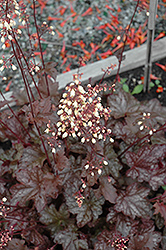 Midnight Bayou Coral Bells (Heuchera 'Midnight Bayou') at Woldhuis Farms Sunrise Greenhouses