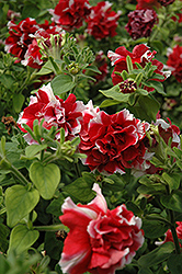 Madness Red And White Double Petunia (Petunia 'Madness Red And White Double') at Woldhuis Farms Sunrise Greenhouses