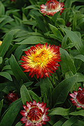 Dreamtime Jumbo Red Ember Strawflower (Bracteantha bracteata 'Dreamtime Jumbo Red Ember') at Woldhuis Farms Sunrise Greenhouses