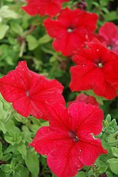 Super Cascade Red Petunia (Petunia 'Super Cascade Red') at Woldhuis Farms Sunrise Greenhouses