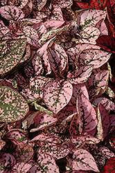 Splash Select Pink Polka Dot Plant (Hypoestes phyllostachya 'Splash Select Pink') at Woldhuis Farms Sunrise Greenhouses