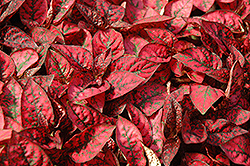 Splash Select Red Polka Dot Plant (Hypoestes phyllostachya 'Splash Select Red') at Woldhuis Farms Sunrise Greenhouses