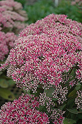 Mr. Goodbud Stonecrop (Sedum 'Mr. Goodbud') at Woldhuis Farms Sunrise Greenhouses