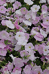 Wave Misty Lilac Petunia (Petunia 'Wave Misty Lilac') at Woldhuis Farms Sunrise Greenhouses
