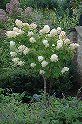 Limelight Hydrangea (tree form) (Hydrangea paniculata 'Limelight (tree form)') at Woldhuis Farms Sunrise Greenhouses