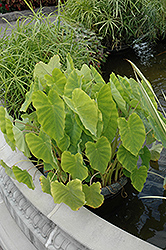 Elephant Ear (Colocasia esculenta) at Woldhuis Farms Sunrise Greenhouses