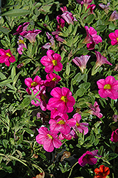 Superbells® Pink Calibrachoa (Calibrachoa 'Superbells Pink') at Woldhuis Farms Sunrise Greenhouses