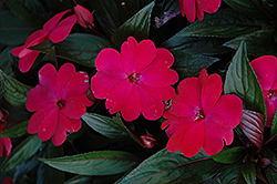 Harmony Magenta New Guinea Impatiens (Impatiens hawkeri 'Harmony Magenta') at Woldhuis Farms Sunrise Greenhouses