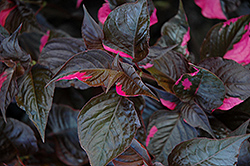 Raspberry Rum Alternanthera (Alternanthera ficoidea 'Raspberry Rum') at Woldhuis Farms Sunrise Greenhouses