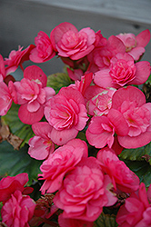 Dragone Dusty Rose Begonia (Begonia 'Dragone Dusty Rose') at Woldhuis Farms Sunrise Greenhouses