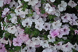 Tidal Wave Silver Petunia (Petunia 'Tidal Wave Silver') at Woldhuis Farms Sunrise Greenhouses