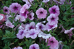 Easy Wave Plum Vein Petunia (Petunia 'Easy Wave Plum Vein') at Woldhuis Farms Sunrise Greenhouses