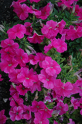 Pretty Flora Pink Petunia (Petunia 'Pretty Flora Pink') at Woldhuis Farms Sunrise Greenhouses