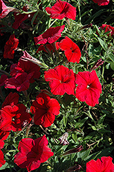 Pretty Flora Red Petunia (Petunia 'Pretty Flora Red') at Woldhuis Farms Sunrise Greenhouses