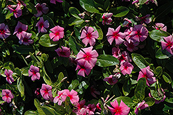 Cora® Strawberry Vinca (Catharanthus roseus 'Cora Strawberry') at Woldhuis Farms Sunrise Greenhouses