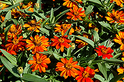 Profusion Orange Zinnia (Zinnia 'Profusion Orange') at Woldhuis Farms Sunrise Greenhouses