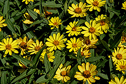 Profusion Yellow Zinnia (Zinnia 'Profusion Yellow') at Woldhuis Farms Sunrise Greenhouses