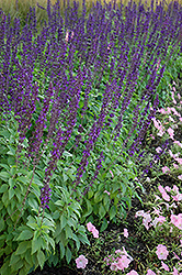 Mystic Spires Blue Sage (Salvia 'Balsalmisp') at Woldhuis Farms Sunrise Greenhouses