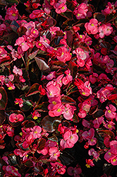 Bada Boom® Rose Begonia (Begonia 'Bada Boom Rose') at Woldhuis Farms Sunrise Greenhouses