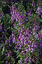 Serena Purple Angelonia (Angelonia angustifolia 'Serena Purple') at Woldhuis Farms Sunrise Greenhouses
