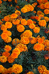 Taishan Orange Marigold (Tagetes erecta 'Taishan Orange') at Woldhuis Farms Sunrise Greenhouses