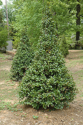 Castle Spire® Meserve Holly (Ilex x meserveae 'Hachfee') at Woldhuis Farms Sunrise Greenhouses