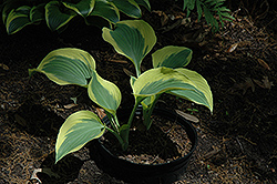 Ivory Coast Hosta (Hosta 'Ivory Coast') at Woldhuis Farms Sunrise Greenhouses