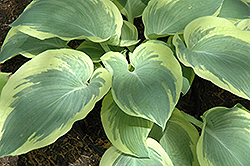 Northern Exposure Hosta (Hosta 'Northern Exposure') at Woldhuis Farms Sunrise Greenhouses