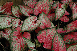 Carolyn Whorton Caladium (Caladium 'Carolyn Whorton') at Woldhuis Farms Sunrise Greenhouses