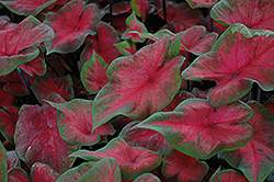Postman Joyner Caladium (Caladium 'Postman Joyner') at Woldhuis Farms Sunrise Greenhouses