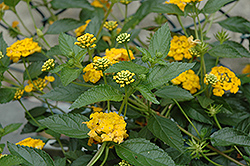 New Gold Lantana (Lantana 'New Gold') at Woldhuis Farms Sunrise Greenhouses