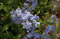 Cape Plumbago (Plumbago auriculata) at Woldhuis Farms Sunrise Greenhouses
