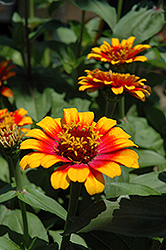 Zowie Yellow Flame Zinnia (Zinnia 'Zowie Yellow Flame') at Woldhuis Farms Sunrise Greenhouses