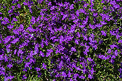 Magadi Basket Dark Blue Lobelia (Lobelia erinus 'Magadi Basket Dark Blue') at Woldhuis Farms Sunrise Greenhouses